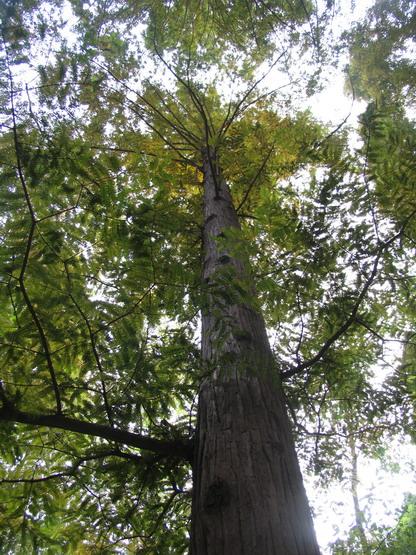 现仅有的水杉母树(它们的种子现已在世界各国生长成大树)就有六千多棵