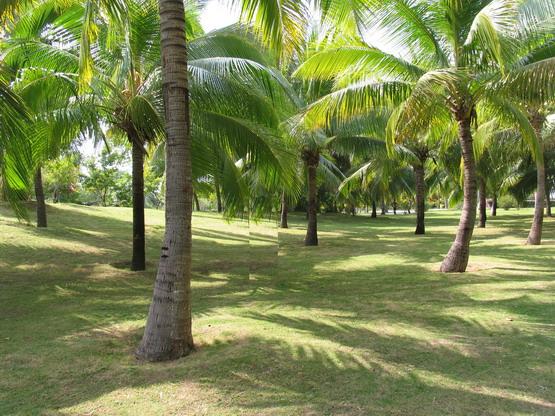 椰子树素材免抠